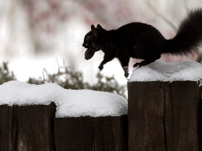 A Black Squirrel Leaps Along a Snow Covered Fence Fotografisk tryk
