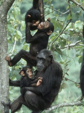 Jane Goodall Institute, Chimpanzees, Gombe National Park, Tanzania Photographic Print by Kristin Mosher