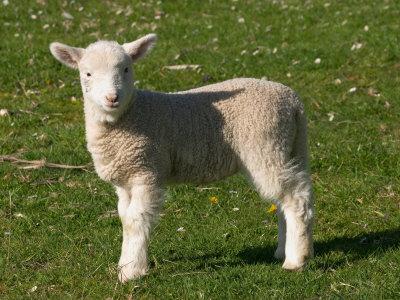 New Lamb, South Island, New Zealand Photographic Print by David Wall