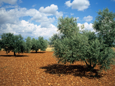 Olive Trees in Provence, France Photographic Print by David Barnes
