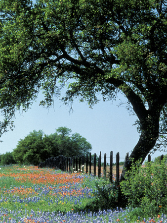 Paintbrush and Bluebonnets, Texas Hill Country, Texas, USA Lmina fotogrfica