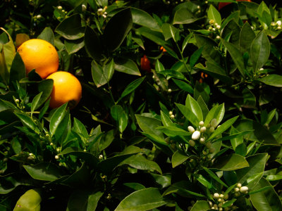 Orange Tree, Tenerife, Canary Islands, Spain Photographic Print by Russell Young