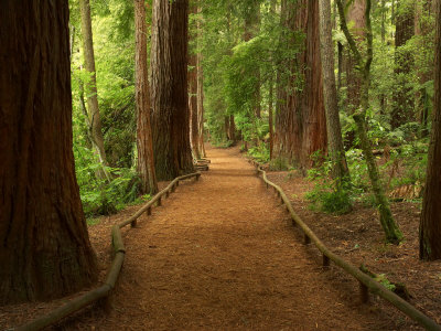 Redwood Forest � 800x600