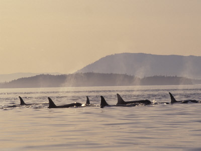 Orca Whales Surfacing in the San Juan Islands, Washington, USA Photographic Print by Stuart Westmoreland