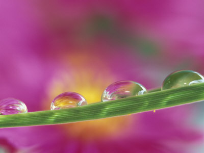 Asters in Water Droplets Photographic Print by Adam Jones