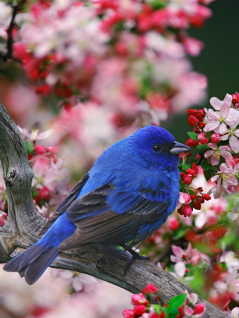 Male Indigo Bunting Among Crabapple Blossoms Photographic Print by Adam Jones