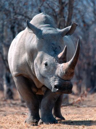 White Square-Lipped Rhino, Namibia Photographic Print by Claudia Adams