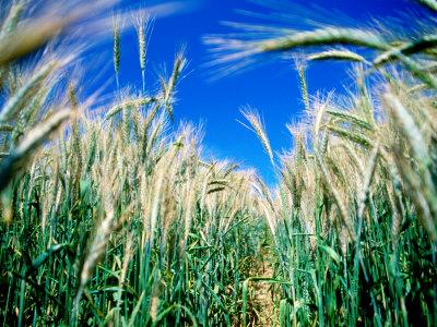 Barley Field in July, Denmark Photographic Print by Martin Lladó
