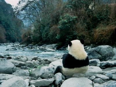 Giant Panda Eating Bamboo by the River, Wolong Panda Reserve, Sichuan, China Stampa fotografica di Keren Su