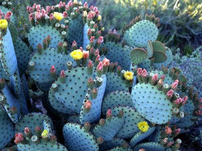 Beavertail Cactus, Desert Botanical Gardens