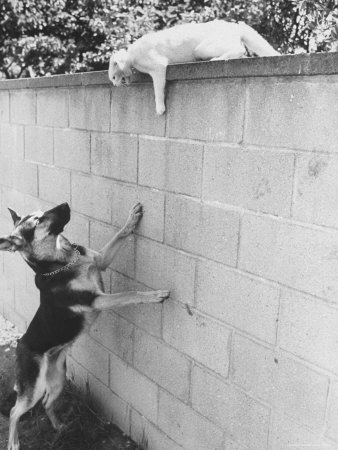 Cat Owned by Olympic Track Star Harold Connolly, on Wall Hissing at Police German Shepherd Photographic Print by Bill Eppridge