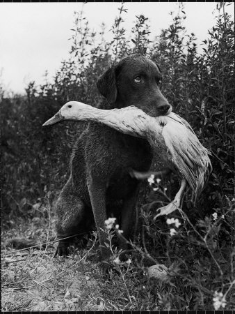 Chesapeake Bay Retriever Trigger Holds Donald the Duck After being thrown Into Water by Owner Photographic Print by Loomis Dean