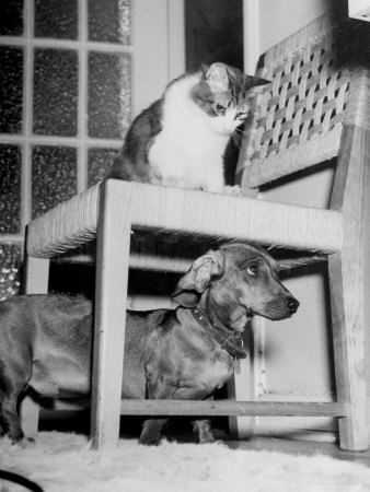 "Rudy the Dachshund and Trudy the Cat Engaged in Hide and Seek Or ""Pounce on the Dog"" Photographic Print by Frank Scherschel"