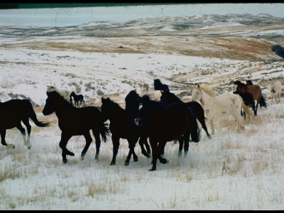 Wild Mustang Horses Running Across Field in Wyoming and Montana Photographic Print by Bill Eppridge