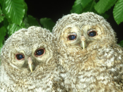 Tawny Owl, Strix Aluco Chicks, Close-up Portraits W. Yorks, UK Stampa fotografica di Mark Hamblin