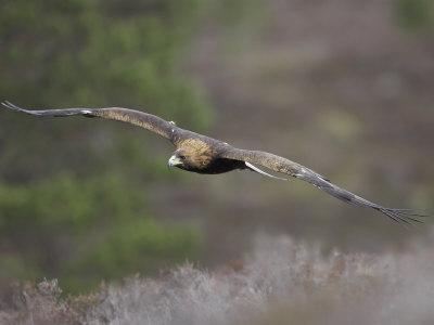 golden eagle wallpaper. Golden Eagle, Adult in Flight,
