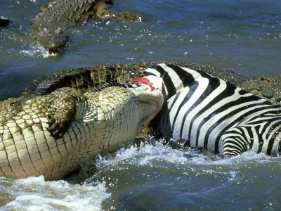 Nile Crocodile, Eating a Common Zebra, Masai Mara Photographic Print by