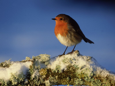 Robin, Perched on Branch in Snow, Scotland, UK Stampa fotografica di Mark Hamblin