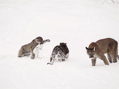 Mountain Lion, with Cubs in Snow, USA Stampa fotografica di Mary Plage