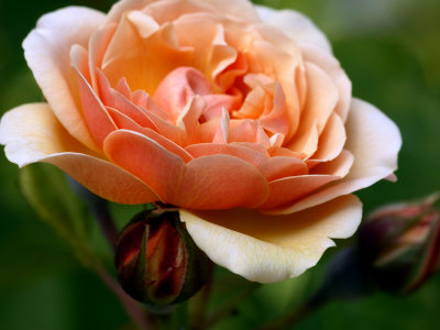 Rosa Sweet Juliet (Shrub Rose), Close-up of Orange Flower with Buds ...