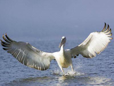 Dalmatian Pelican, Landing, Greece Photographic Print by Manfred Pfefferle