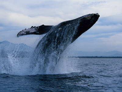 Humpback Whale, Breaching, Puerto Vallarta Photographic Print by Gerard Soury