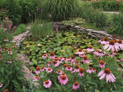 Coneflowers Around Water Garden, Louisville, Kentucky, USA Photographic Print by Adam Jones