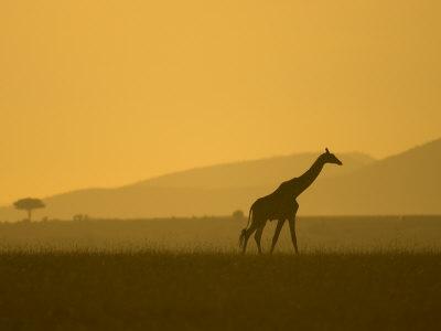 Masai Giraffe Walking at Sunset in Masai Mara. Giraffa Camelopardalis Photographic Print by Roy Toft
