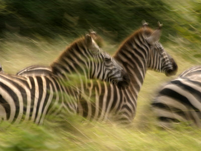 A Panned View of Common Zebras Running Through Grass (Equus Quagga) Photographic Print by Roy Toft