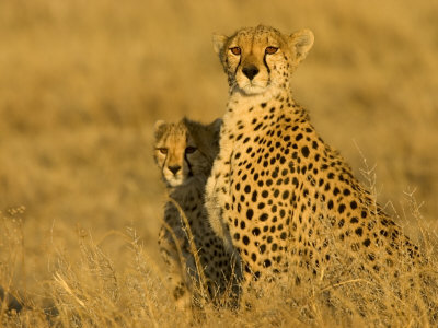 Portrait of a Mother Cheetah and Cub in Golden Light (Acinonyx Jubatus) Photographic Print by Roy Toft