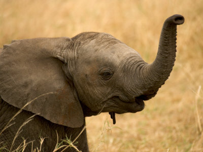 Portrait of a Baby African Elephant with Its Trunk Raised (Loxodonta Africana) Photographic Print by Roy Toft