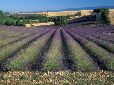 Lavender Field, Provence, France Photographic Print