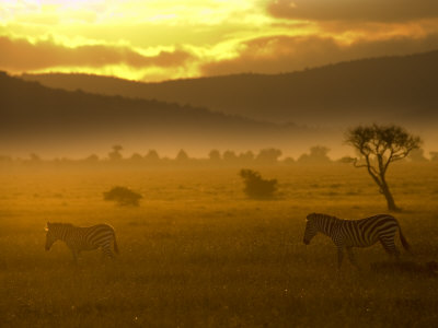 Two Common Zebra Walking Across the Plains at Sunset (Equus Quagga) Photographic Print by Roy Toft