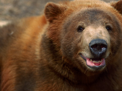 Close-up of Brown Bear Photographic Print by Elizabeth DeLaney