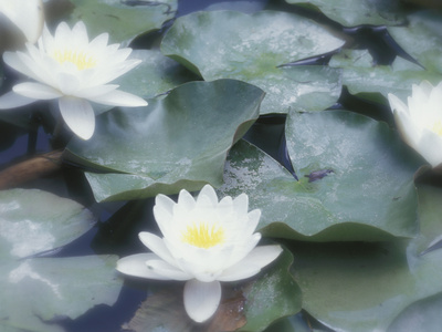Water Lilies Floating on Pond Photographic Print