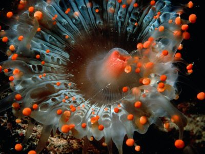 Detail of Orange Ball Corallimorpharian, Castle Comfort House Reef, Dominica Photographic Print by Michael Lawrence