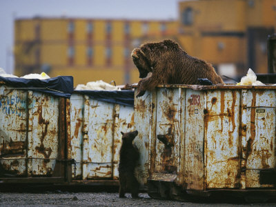 Grizzly Bear and her Cub Scavenge from a Dumpster Photographic Print by Joel Sartore