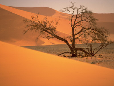 Tree in Namibia Desert, Namibia, Africa Photographic Print by Walter Bibikow