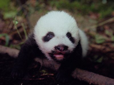 Juvenile Panda Just Starting to Open Her Eyes Photographic Print
