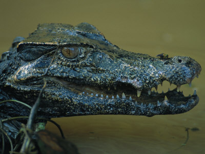 Close View of a Caiman and its Gaping Jaws Photographic Print