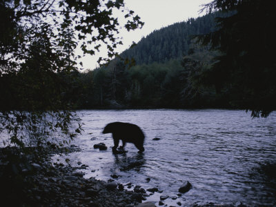 A Black Bear Searches for Sockeye Salmon in Shallow Waters Photographic Print by Joel Sartore