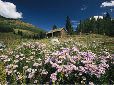 An Old Miners Cabin with Purple Asters in the Foreground Photographic Print by Richard Nowitz