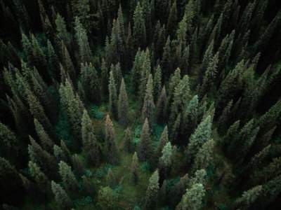 Aerial View of an Evergreen Forest Fotografisk tryk