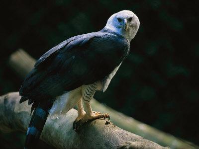 Harpy Eagle (Harpia Harpyja) Photographic Print by Joel Sartore