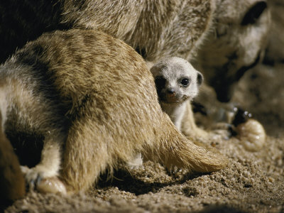 A Meerkat Pup Peers at the Camera Photographie