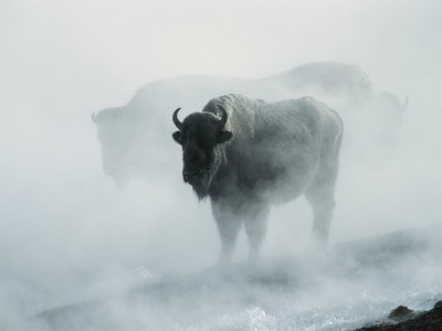 An American Bison Bull Stands in the Steam from a Geyser to Keep Warm Photographic Print by Michael S. Quinton