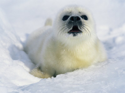 seal animal. A Newborn Gray Seal Pup Lifts