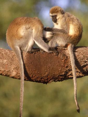 Vervet Monkeys, Tanzania Photographic Print by Elizabeth DeLaney