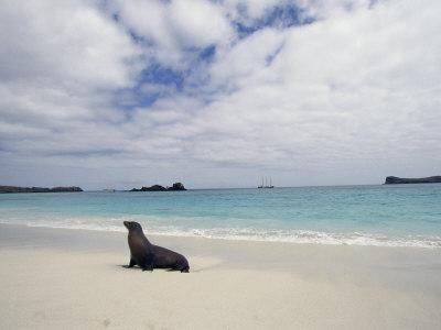 Galapagos-Seelöwe am Strand Fotografie-Druck von Steve Winter