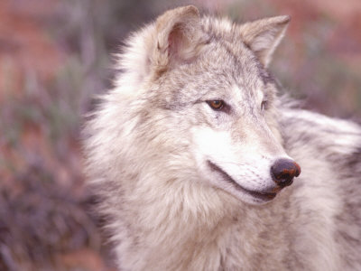 Close-up of Gray Wolf, Near Zion National Park, UT Photographic Print by Elizabeth DeLaney